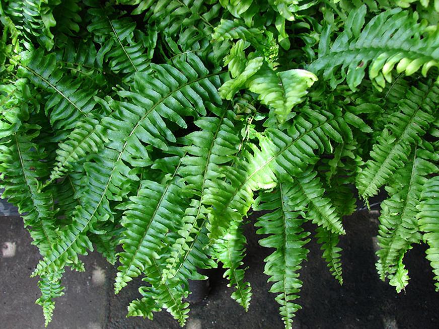 گیاهان مناسب دیوار سبز (گرین وال) - سرخس برگ شمشیری