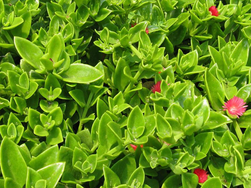 گیاهان مناسب دیوار سبز (گرین وال)